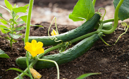 Slice of Life: A Refresher Course on Cucumbers
