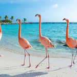 Aruba flamingo - ALO Magazine